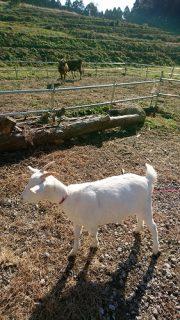 パインテールファームのヤギさんとウマさん