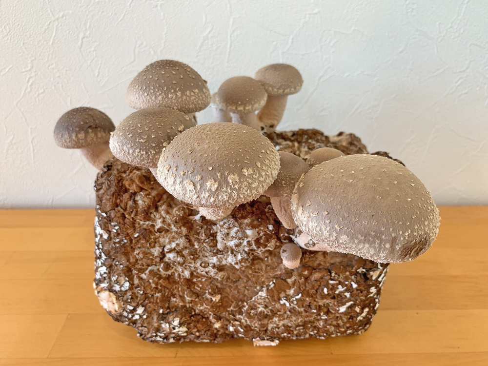 菌床ブロック